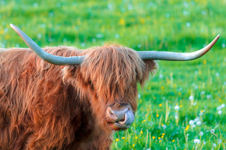 highland cattle with tongue thrust Stock Photo