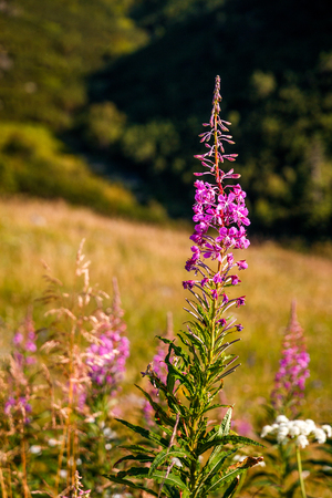 Chamerion angustifolium commonly known as fireweed flowers on blurred background, Slovakia, Europe.