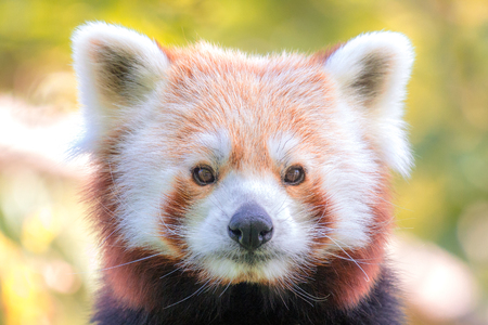 Portrait of red panda in detail with a view into the camera.