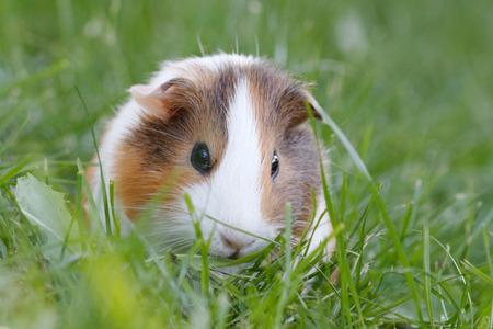 Guinea pig on green grass.