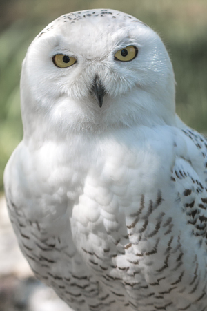 The snowy owl, Bubo scandiacus. Banque d'images