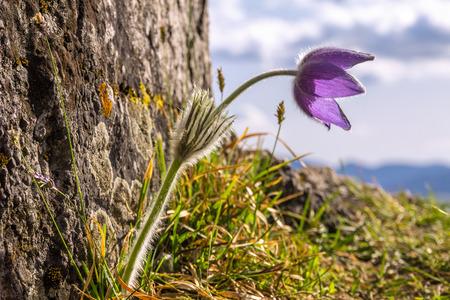 Purple Pulsatilla grandis pasque flower in backlight.