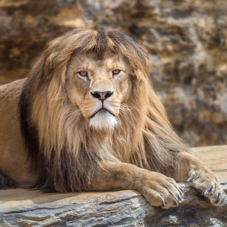 Portrait of a lion male with a calm but rigorous gaze.