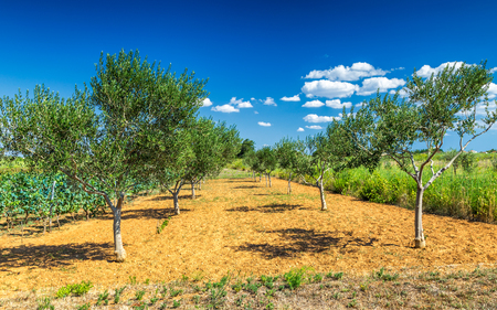 Landscape with olive grove during a sunny day in the summer.