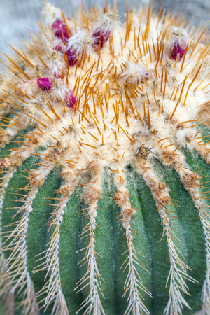 Flowery prickly cactus in close-up view.