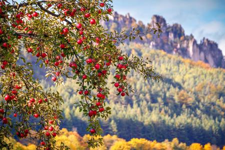 A ripe red apples on a tree with autumn landscape background. Reklamní fotografie