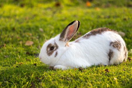 Cute rabbit grazing on the grass in the garden.