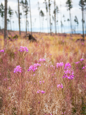 Fireweed flowers in a foreground of the landscape after forest calamity in the High Tatras National Park, Slovakia, Europe.