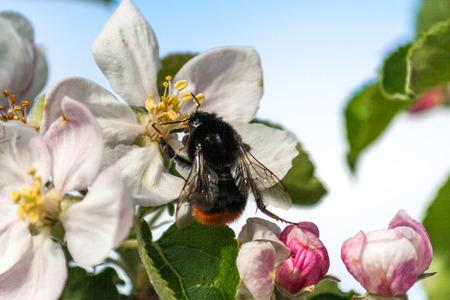 Bumblebee pollinates cherry blossoms.