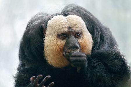 The white-faced saki (Pithecia pithecia) monkey, also called the Guianan saki.