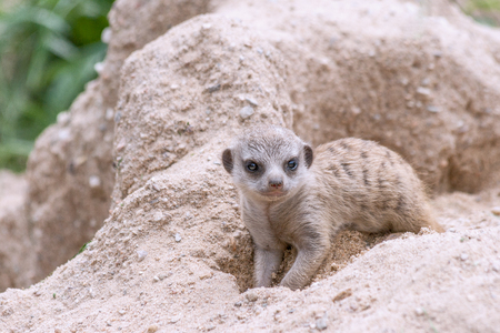 Young suricate playing in the sand.