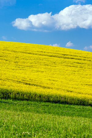 Landscape with fields of oilseed rape, blue sky with clouds in the background.
