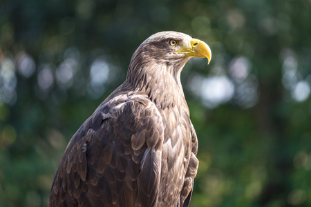 The white-tailed eagle (Haliaeetus albicilla), bird of prey sometimes known as the ern or erne.