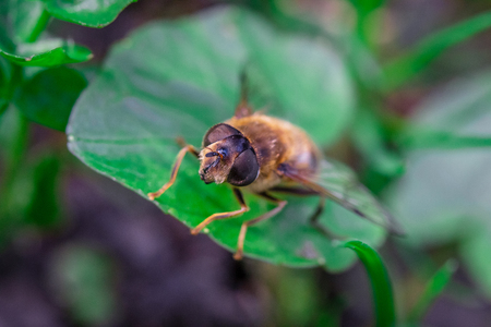 Hoverflies, sometimes called flower flies, or syrphid flies, the insect of family Syrphidae.