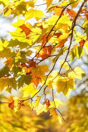 Tree leaves in autumn colors. Archivio Fotografico
