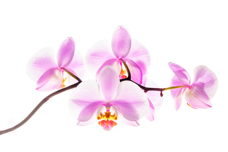 Blooming orchid flowers on white background at backlight.