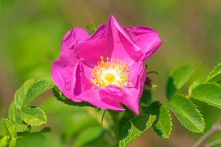 Rosa rubiginosa, flower in a garden at a close-up view. Stock Photo