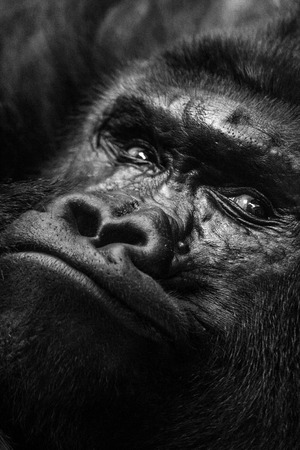 Monos gorila, cara en vista cercana. Imagen en blanco y negro. Foto de archivo