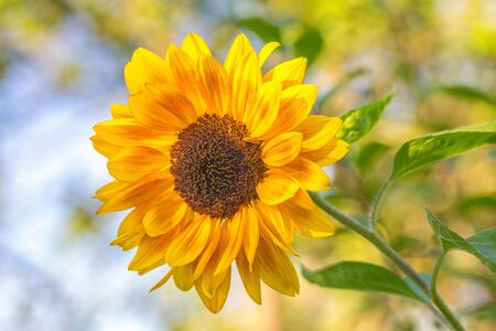 Sunflower in close-up view on a blurred background in a garden at sunny day. Stockfoto