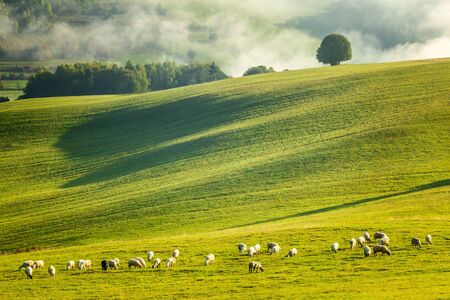 A herd of grazing sheep on a meadow in the foreground of a foggy landscape in the autumn morning. The Orava region near the village of Zazriva in Slovakia, Europe. Stockfoto - 131325388