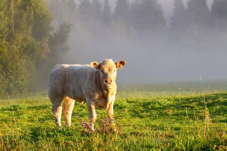 Young bull on a meadow at a foggy morning. Stockfoto
