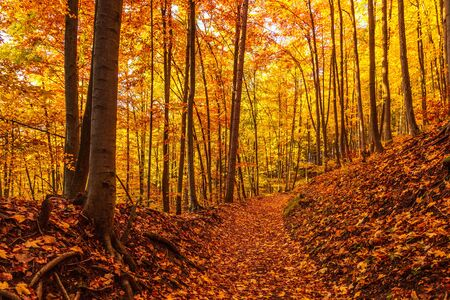 Walkway in an autumn colorful forest.
