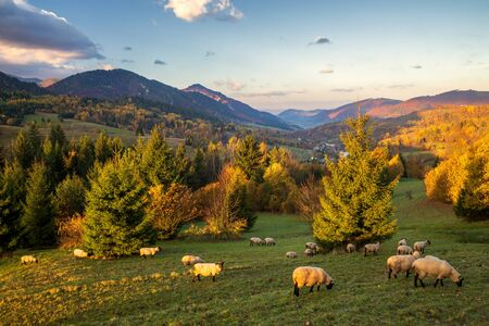 A herd of grazing sheep on a meadow in the foreground of a mountain landscape in the autumn morning. Mala Fatra National Park, near the village of Terchova in Slovakia, Europe.