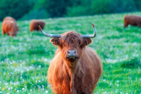 Highland cattle, cow with herd on a grassy meadow, looking into the camera.