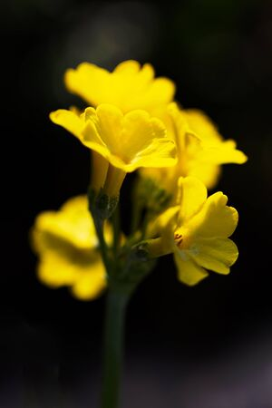 Primula auricula, known as mountain cowslip or bear's ear flower on a dark background. Stockfoto - 132454686