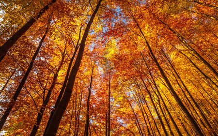 Forest of deciduous trees in autumn colors. Stockfoto - 132454138