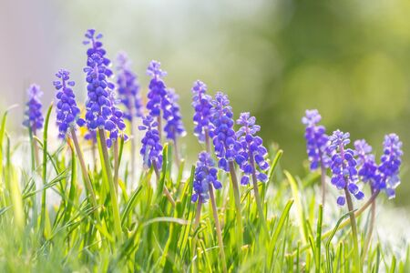 Muscari - grape hyacinth flower, group of flowers in meadow with blurred background in sunny day. Stockfoto - 132457634
