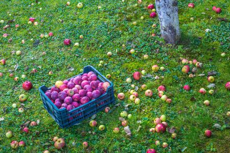 Box with harvested apples in the garden at autumn. Stockfoto