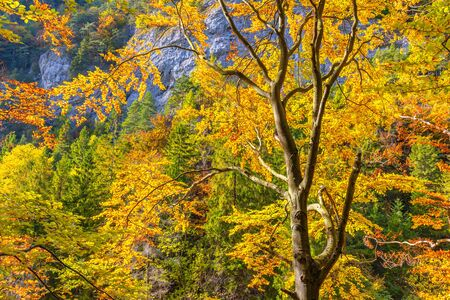 Trees with colorful leaves in an autumn forest. Kvacianska Valley in Liptov region of Slovakia, Europe.