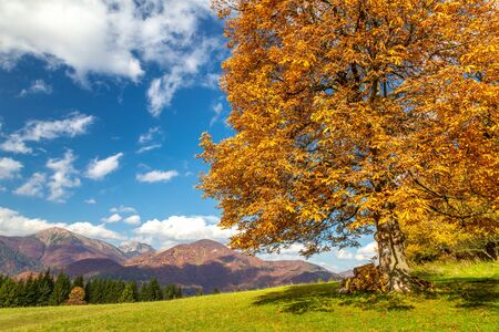 Orange colored deciduous tree in autumn landscape with mountain range in the background. The Mala Fatra national park, Slovakia, Europe.