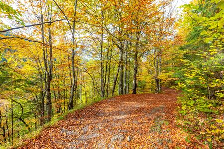 Walkway with colorful leaves in an autumn forest. Kvacianska Valley in Liptov region of Slovakia, Europe.