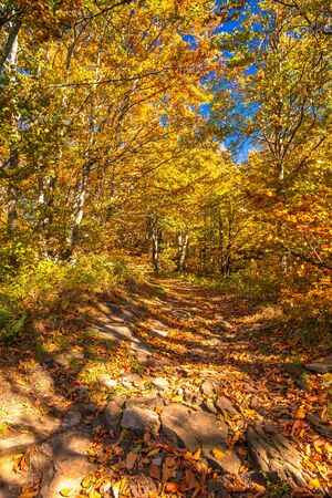 Walkway in birch forest in autumn colors. Kysuce region in the north of Slovakia, Europe.