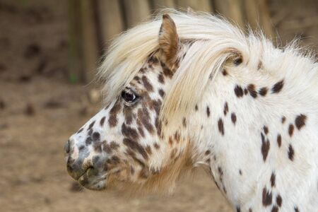 Spotted pony, head profile in close up view.