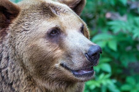 The brown bear (latin name Ursus arctos), head profile in close up view.