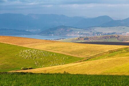 Piedmont landscape, flock of sheeps on a meadow in the morning light, the area of Liptov in Slovakia, Europe.