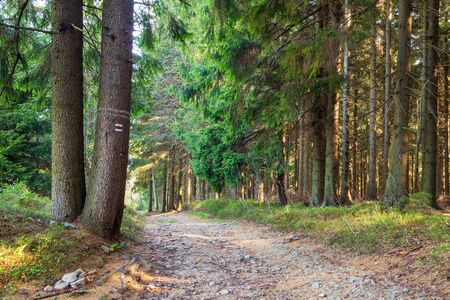 Hiking trail through coniferous forest in autumn sunny morning. Stockfoto