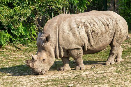 The white rhinoceros, respectively square-lipped rhinoceros (latin name Ceratotherium simum).