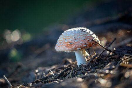 Red Toadstool in forest, Amanita muscaria, known as the fly agaric or fly amanita. Used low depth of field with blurred background. Stockfoto