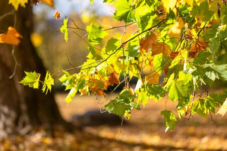 Leaves of tree in an autumn park during a sunny day. Used low depth of field with blurred background.