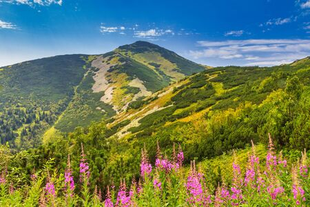 Velky Krivan, the highest mountain in the Lesser Fatra. Mountainous landscape with fireweed flowers in the foreground in the Mala Fatra national park, Slovakia, Europe.