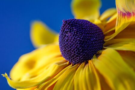 The Rudbeckia, Gloriosa Daisy flower in close-up view on a blurred background. Stockfoto