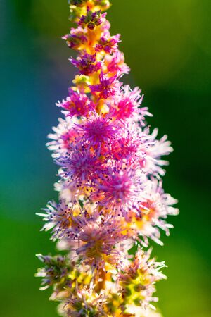 Chinese astilbe, latin name Astilbe chinensis, commonly known as false goats beard. Flower on a blurred background. Stockfoto