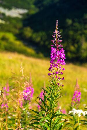 The fireweed flowers in the foreground of mountainous landscape. The Mala Fatra national park, Slovakia, Europe.