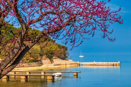 Green lagoon sea bay in Porec, a blossoming tree in a foreground, Croatia - Istria, Europe. Stockfoto