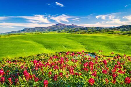 Landscape with flowers in foreground, Val d'Orcia valley of Tuscany in spring time, Italy.