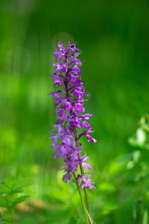 Orchis mascula flower, the early-purple orchid on green blurred background.  Zdjęcie Seryjne